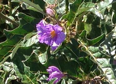 Narrawa burr flower closeup