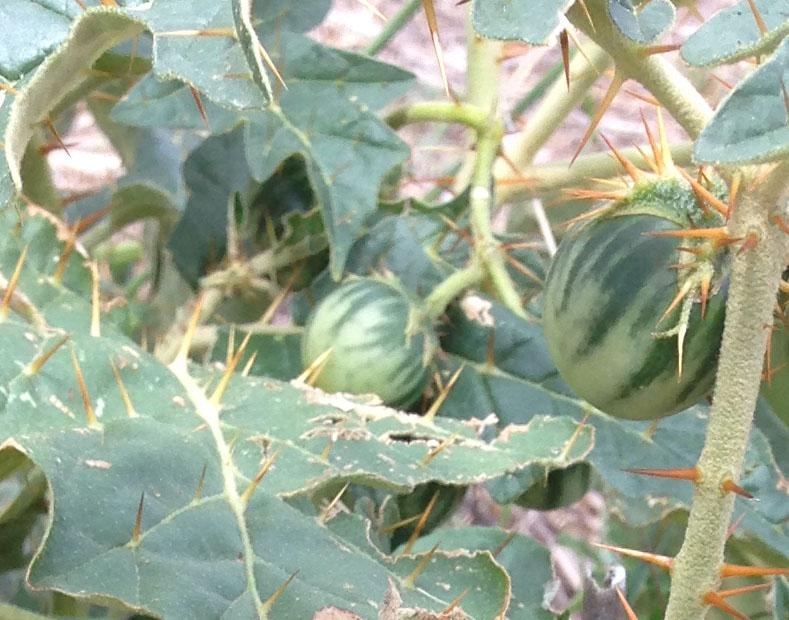 narrawa burr green fruit