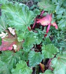 rhubarb in winter