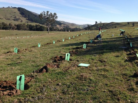 rows of new trees