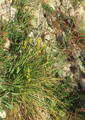 bulbine-lilies-clinging-to-rocks