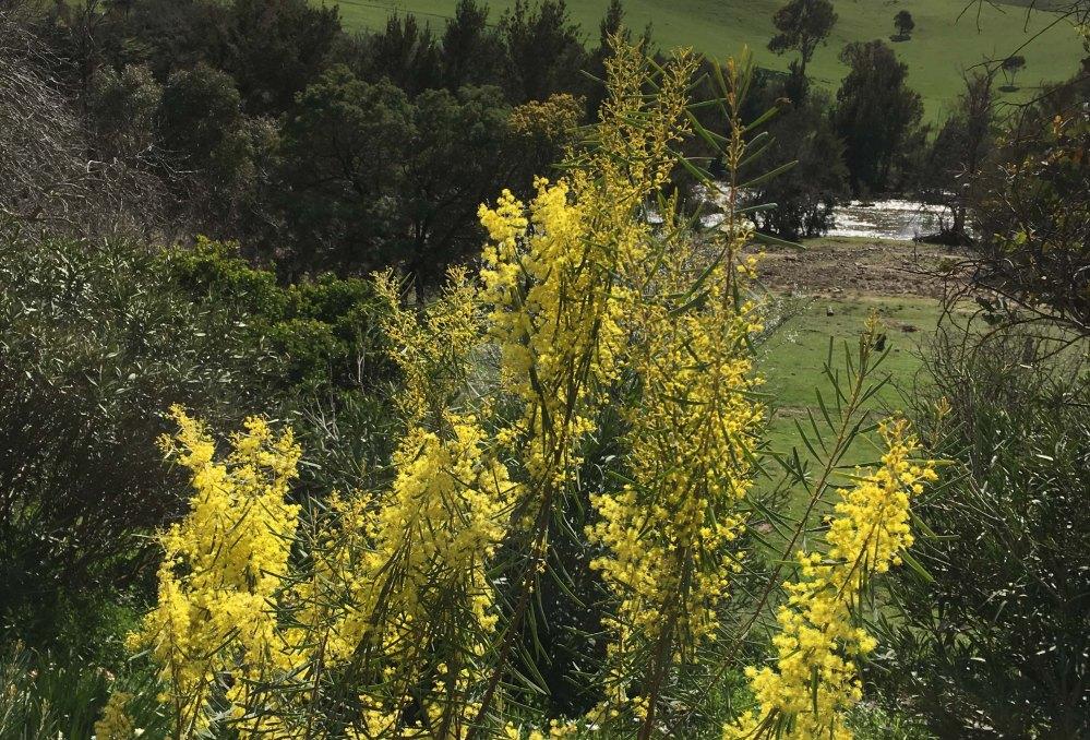 wattles-in-bloom