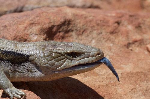 eastern-blue-tongue-photo-by-john-sullivan-inaturalist