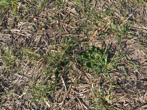 grass growth april 2017 hay no topsoil