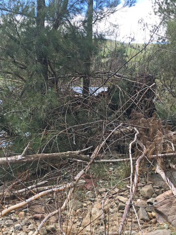 tangled fallen willow washed down by flood with wasps