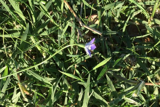 wahlenbergia in new grass growth april 2017