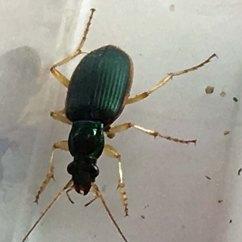 beetle 4 green