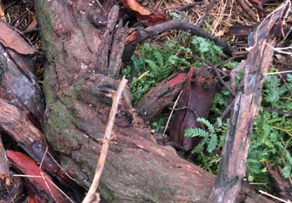 squashed red-stem wattle survived