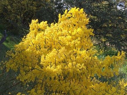 wattle flowers