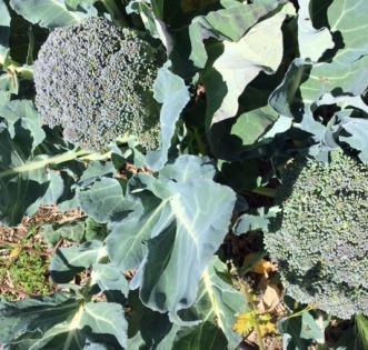 broccoli heads
