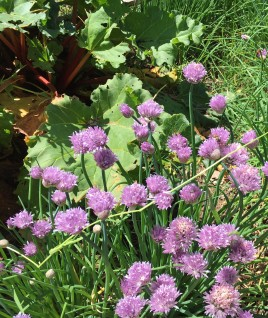 chives and rhubarb