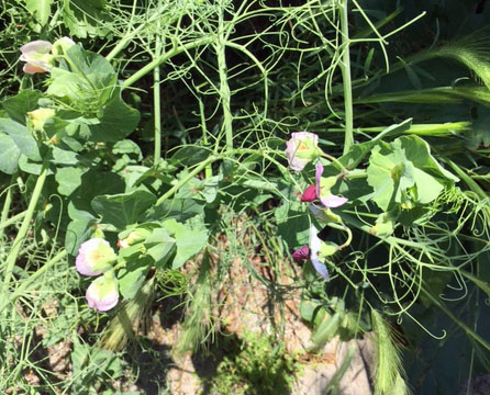 snow peas with pink flowers