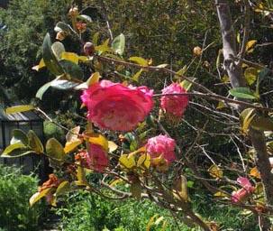 spring camellia flower 2