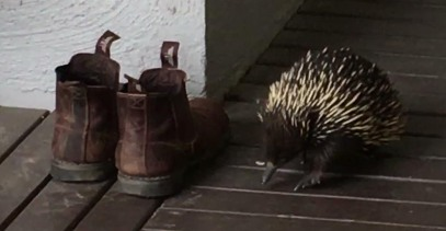 echidna and boots