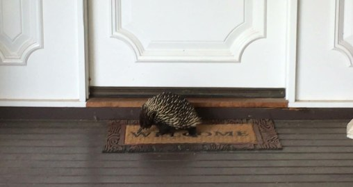 echidna at front door 2