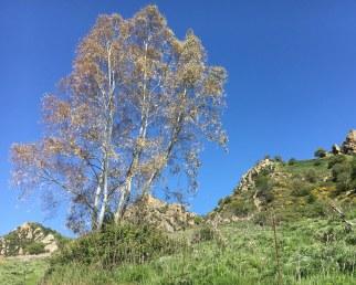 Sicily eucalypt 3