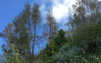 Sicily eucalypts