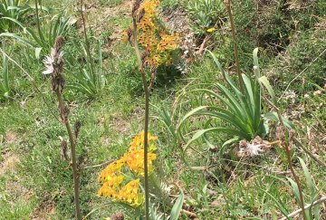 Sicily roadside yellow flowers and lilies