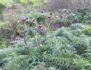 Sicily thistle patch