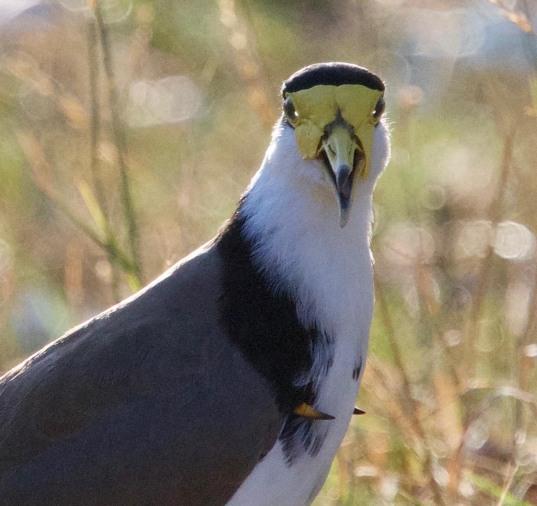 masked lapwing closeup