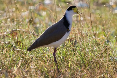 spur winged plover calling