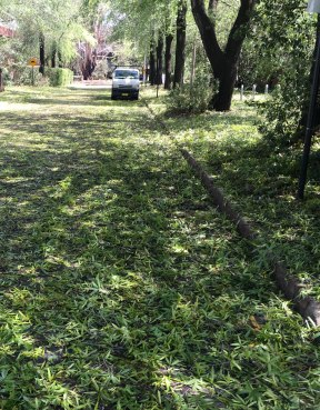 hail rips leaves from trees at ANU