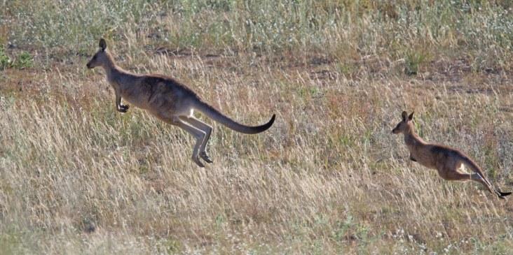 kangaroos leaping